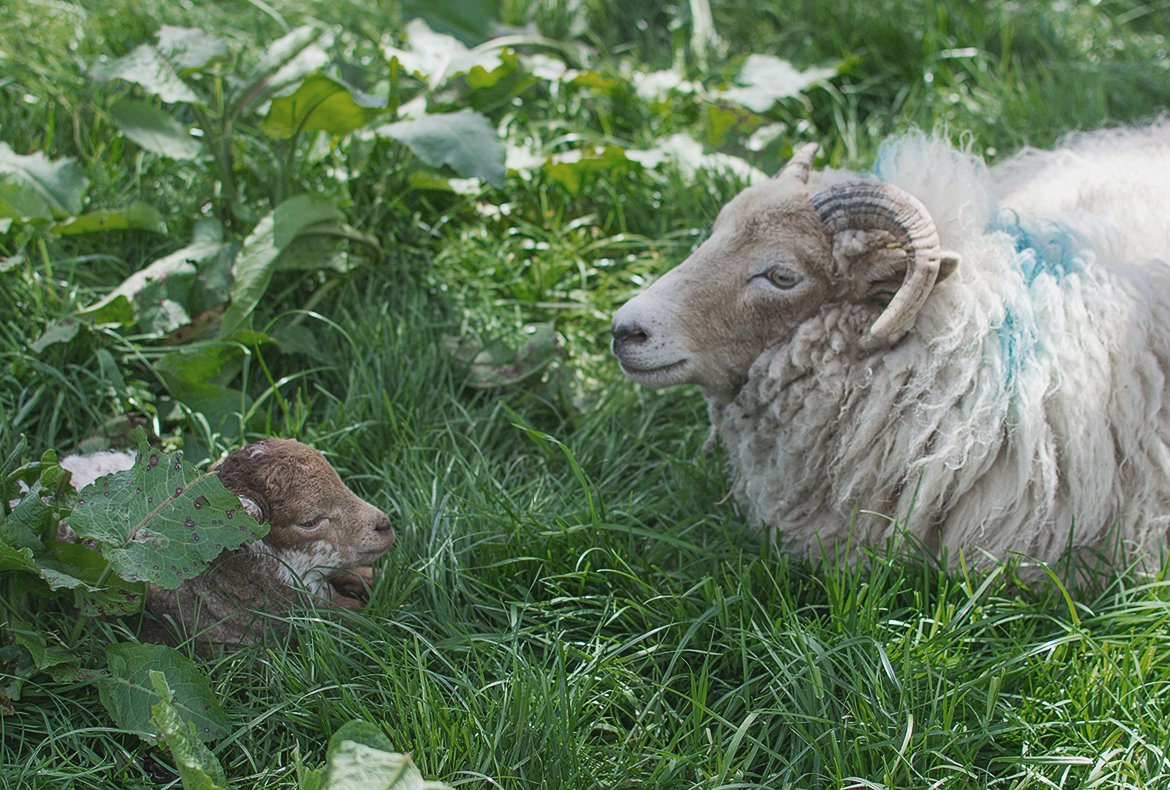 sheep and her lamb lying in the grass